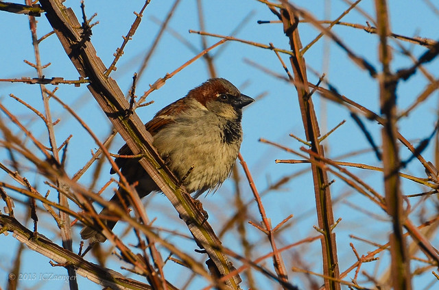 Late Winter Sparrow 1
