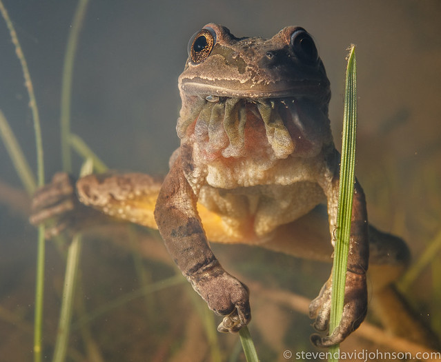 Pacific Chorus Frog, Lincoln, Oregon (underwater)