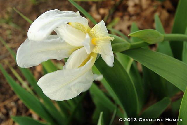 cemetery iris