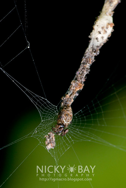 Orb Weaver Spider (Cyclosa sp.) - DSC_8838