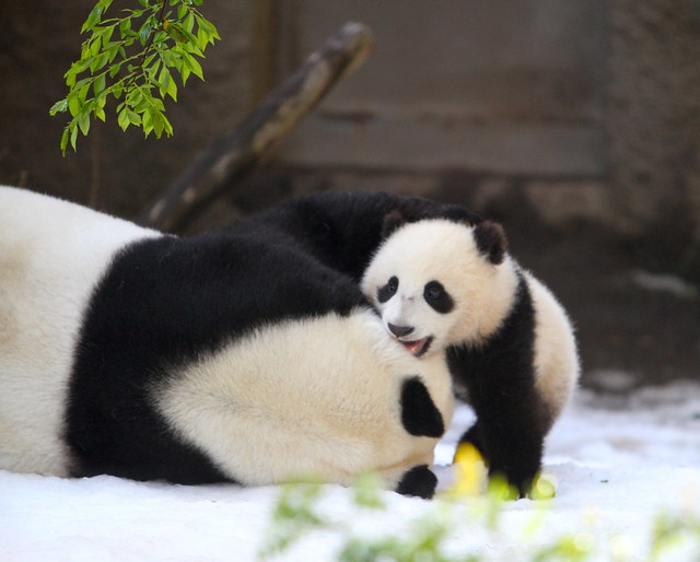 Panda Cub Xiao Liwu with Bai Yun on Snow Day 3-19-2013