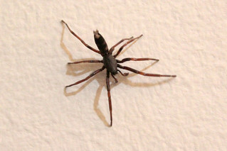 Lampona cylindrata (White-tailed Spider)