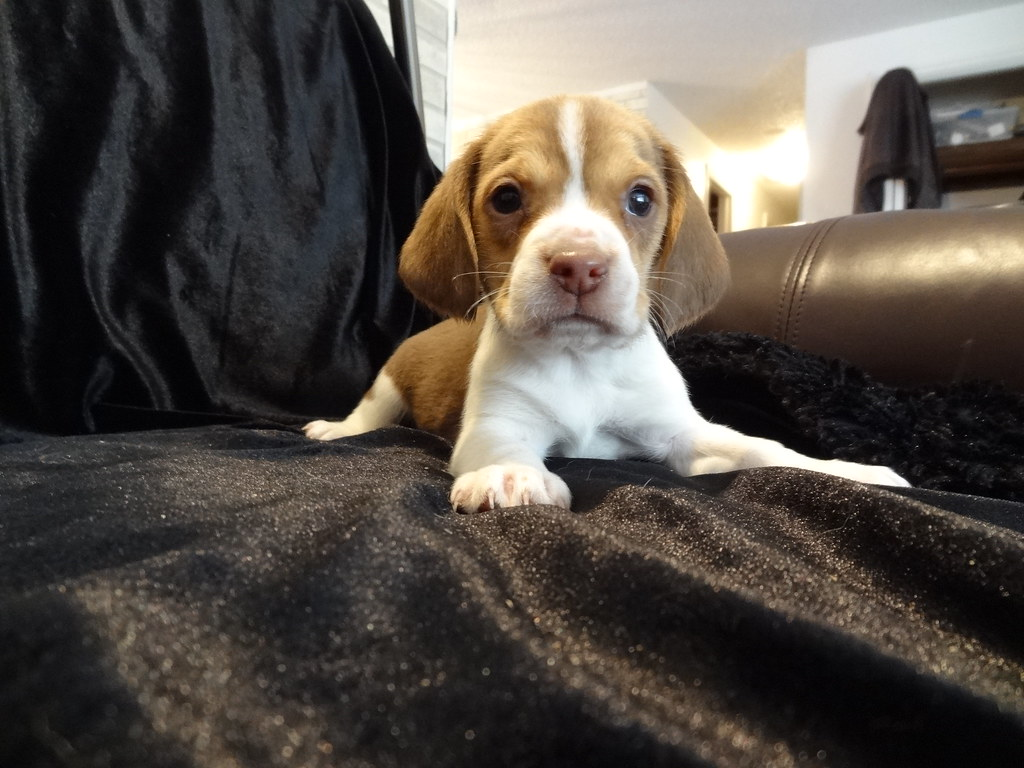 Curious Miniature Pocket Beagle Puppy For Sale Chocolate M Flickr