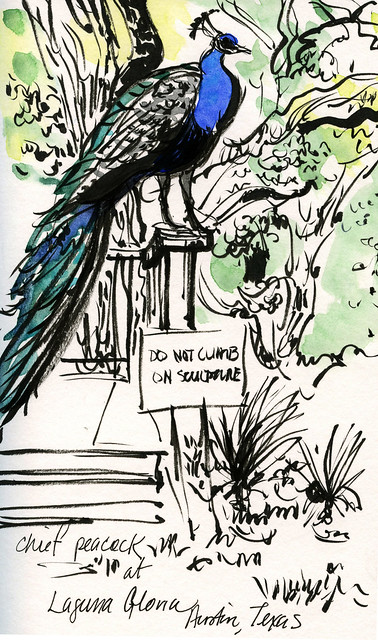 Austin sketches: peacock at Laguna Gloria