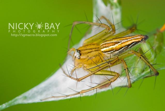 Lynx Spider (Oxyopidae) - DSC_7382