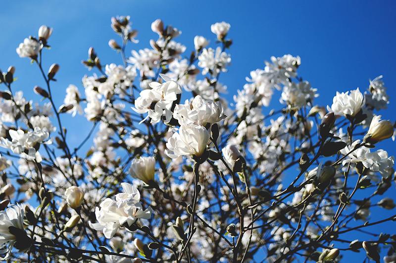 Starbrite Magnolia
