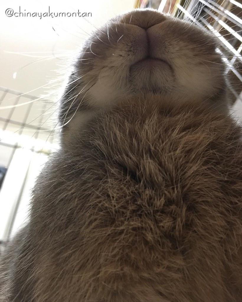 #うさぎ #うさぎのもんたん #rabbit #bunny #もふもふ #ペット #pet #love #cute #fluffy #instagood #followme #kawaii #daily #lapin #ふわもこ部 #動物 #instabunny #coniglio #petphotography #animallovers #kaninchen #cuniculus #conejo #兎子 #ドヤ顔 #胸毛 #mouth #chesthair #smile