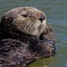 Sea Otter by fascinationwildlife