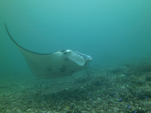 Manta Ray Swimming at Komodo National Park