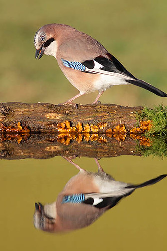 Jay with reflection by Paul Miguel