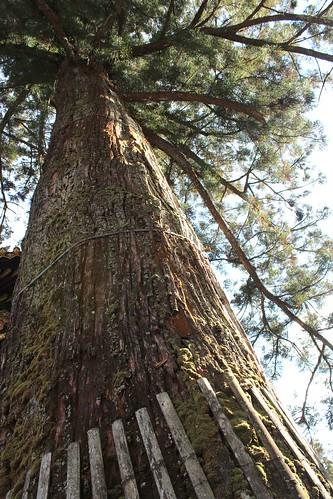 Toshogu sacred tree