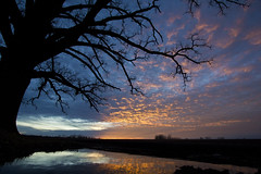 Bur Oak at Sunset with Reflection