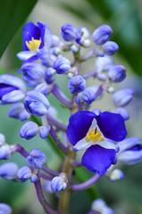flower, plant, lilac, macro photography, wildflower, flora, bluebonnet, blue, petal,