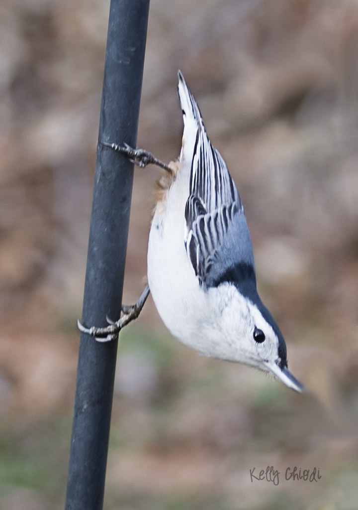 white breasted nuthatch 2 WM