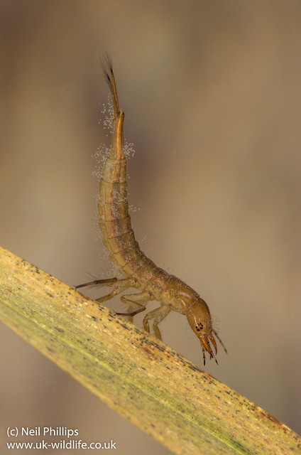 Diving beetle larva Dytiscus sp