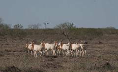 springbok(0.0), grazing(0.0), pronghorn(0.0), animal(1.0), prairie(1.0), steppe(1.0), antelope(1.0), plain(1.0), mammal(1.0), herd(1.0), fauna(1.0), oryx(1.0), pasture(1.0), savanna(1.0), grassland(1.0), safari(1.0), wildlife(1.0),