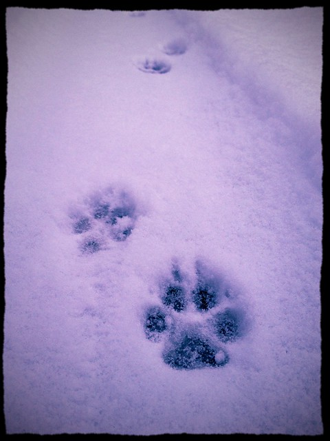 Fox prints in the snow