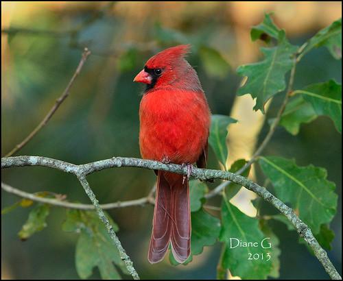Male Northern Cardinal   16