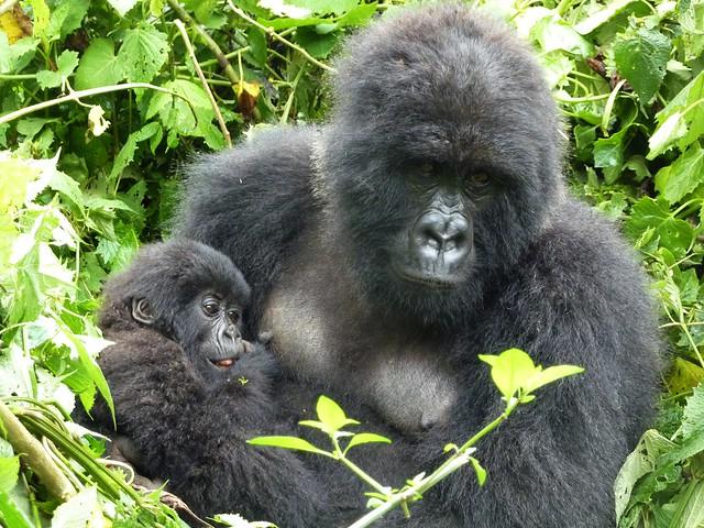 Mountain gorilla - Kwitonda group (I)
