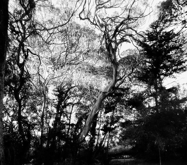Eucalytpus in Golden Gate Park, San Francisco.  February 6, 2013