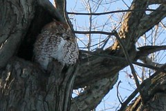 post blizzard - sleeping screech owl 063