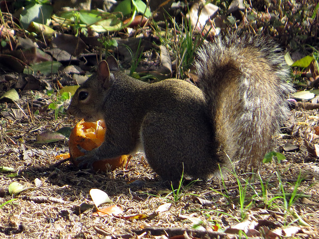 Do squirrels eat oranges?