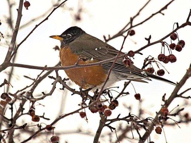 American Robin 20130227