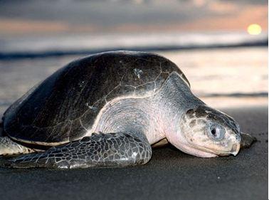 圖片作者:Bill Curtsinger。圖片來源:http://animals.nationalgeographic.com/animals/reptiles/olive-ridley-sea-turtle/?source=A-to-Z