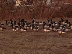 Newbridge Road Park: Geese