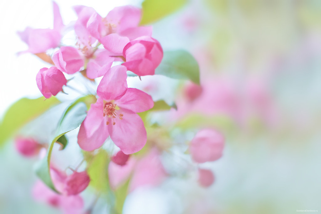 Pink apple flowers