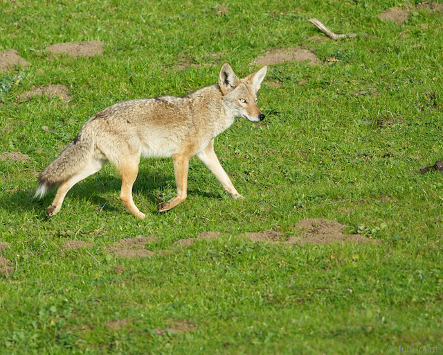 Coyote focused on grazing cows