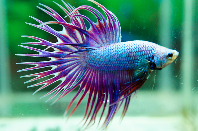 Archived auction fwbettasct1363776002 for Purple betta fish for sale