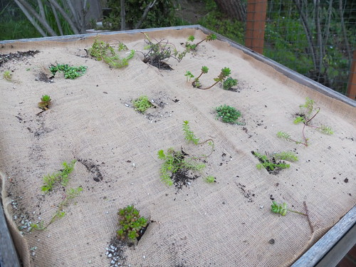 re-planting the green roof