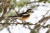 Masked Shrike (Lanius nubicus) by Elsa Naumann