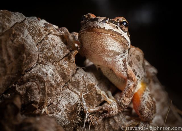 Pacific Chorus Frog, Lincoln, Oregon