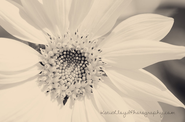 Sunflower---BW-wm