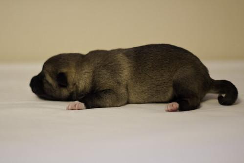 Ike-Kilbe-Pup3-Male-1