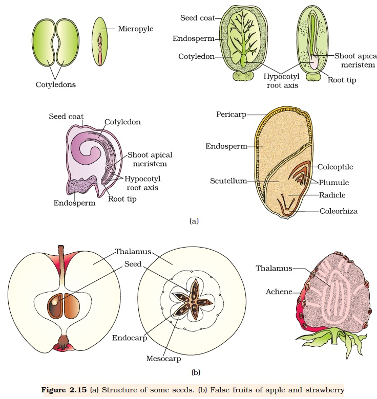 NCERT Class XII Biology Chapter 2 Sexual Reproduction in Flowering Plants