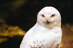orange-eyed snowy owl