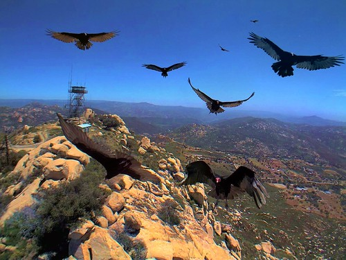 bird webcam carrion scavenger turkeyvulture hpwrenlyonspeakeastview hpwreniqeye131337284745trig1
