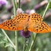 Silver-washed Fritillary by chaz jackson