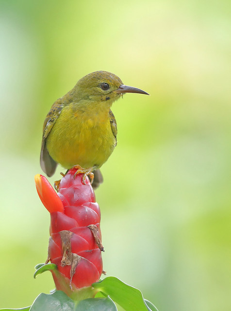 Brown-throated Sunbird (Anthreptes malacensis) 褐喉食蜜鸟, Canon EOS-1D X MARK II, Canon EF 800mm f/5.6L IS