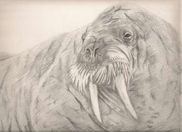 Walrus drawing | Flickr - Photo Sharing!