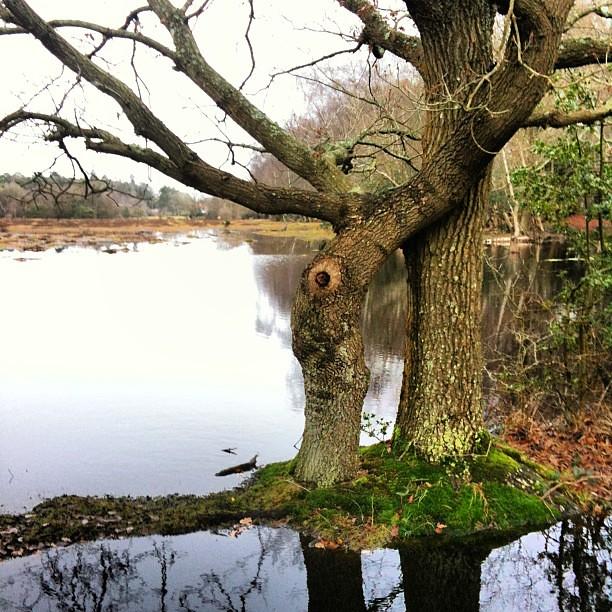 Árboles entrelazados en el New Forest