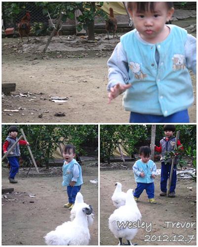 121207-和雞對恃,雞來哥保弟快跑