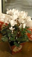 flower(1.0), plant(1.0), cyclamen(1.0), floristry(1.0),
