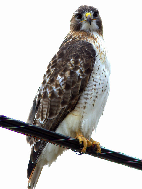 Red-tailed Hawk 4-20130119