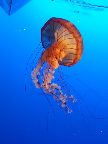 Orange jellyfish