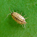 Small photo of Fast Woodlouse . Philoscia muscorum. Isopoda