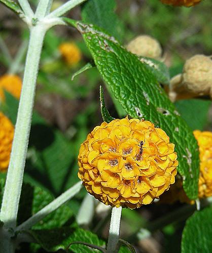 Oranje Bal Vlinderstruik